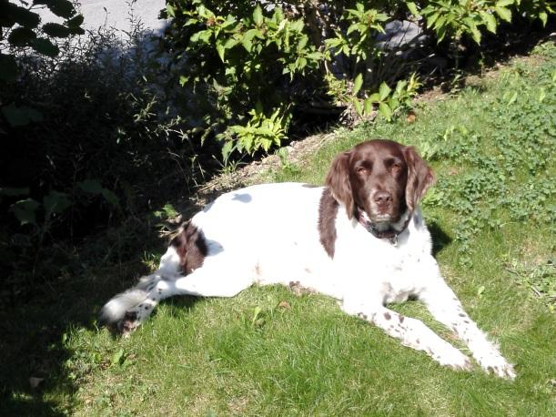 Hund Scheurer